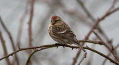 Redpoll 'Carduelis flammea' (Andy & Helen :-) :)) Tags: redpollcarduelisflammea finch belvide staffordshire england wmbc redpoll march spring helenholt canon7dmkii handheld aves vogel
