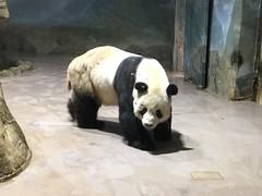 Tian Tian Panda through the wet glass (CSBaltimore) Tags: zoo bear panda tian
