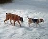 Follower (alwaysakid) Tags: dog animal boxer beagle snow follow