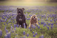Bella's New Friend in Texas Bluebonnets (ksmpics) Tags: dogphotography petphotography outside naturallightportrait bluebonnets texas kspics spring dogs dogportrait backlighting