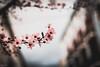 Primavera (mariusbucsa) Tags: flor arbol plaza rosa 35mm nikkor35mm18g nikond5600 cascoantiguo calle primavera es españa aragón