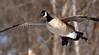 Coming In For A Landing (Vidterry) Tags: goose canada goosegoose in flightcedar lakegoose landing