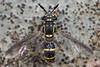 syrphid fly nearly 2 hrs later (myriorama) Tags: syrphid fly eclosed diptera aschiza syrphidae eristalinae cerioidini sphiximorpha sphiximorphawillistoni beech waspmimic