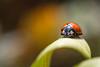Ladybird (beatriceverez) Tags: ladybird insect macro closeup miniature leaf
