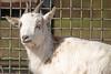 Ziegenbock (www.nbfotos.de) Tags: ziege ziegenbock bock tier animal goat