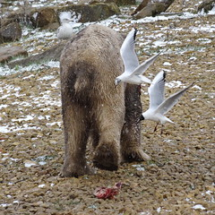 As soon as your back is turned…. (LadyRaptor) Tags: yorkshirewildlifepark yorkshire wildlife park doncaster ywp nature outdoors winter spring springtime cold ice icy freezing snow flakes snowflakes snowing snowy squall snowsquall shower flurry flurries wild bird birds black headed gull gulls aves laridae chroicocephalus ridibundus fly flying wings flock scavengers scavenging hunting foraging meat food meal rocks grass walking walk stroll strolling patrolling cute animal animals predator carnivore caniformia ursidae polarbear polarbears male polar bear bears ursusmaritimus projectpolar nobby