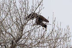 Female Bald Eagle stretches her wings - 29 of 30