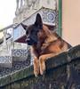 Porto #porto Portugal (larsling) Tags: dog german shepheard digital eit dias miguel ling lars larsling empreendedor do feira douro anje scaleup portugal porto