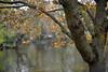 Springtime in St James's Park, London  (Selected by GETTY IMAGES) (DESPITE STRAIGHT LINES) Tags: london nikon d800 nikond800 paulwilliams despitestraightlines flickr day nikon2470mm nikkor2470mm centrallondon city capital londontown londonscenes park stjamesspark stjamessparklondon royallondonparks royal lake pond tree trees foliage nature landscape getty gettyimages gettyimagesesp despitestraightlinesatgettyimages paulwilliamsatgettyimages