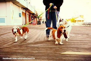 rescued bassets and one tall hound