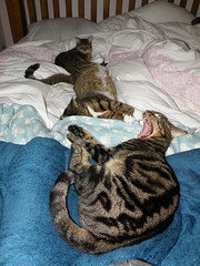 Tribble WIlliam and Fuzzbag (rospix+) Tags: rospix 2018 march uk tabby tabbycat cat cats tribble william fuzzy bed sleepy kitty