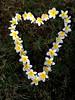 Frangipani Love Heart Outline I Made (itchypaws) Tags: northkuta bali indonesia id 2017 vacation holiday asia island seminyak love heart frangipani flowers