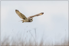 Short-eared owl (GaseousClay1) Tags: avian bird nature wildlife worcestershirewildlifetrust plumage habitat birdinflight oiseauenvol fugliflyvning vogelindevlucht vogelimflug πτηνάκατάτηνπτήση uccelloinvolo ptakwlocie pássaroemvoo птицавполете pájaroenvuelo fågeliflygning kuşkuşu mussolemigrant mosehornugle sumpfohreule búhocampestre suopöllö hiboudesmarais gufodipalude velduil jordugle corujadonabal jorduggla болотнаясова