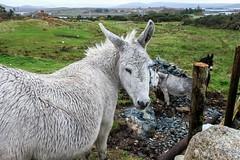 Donkeys (Nelleke C) Tags: 2017 letterdyfehouse roundstone connemara countygalway donkey ezel holiday ierland ireland vakantie
