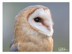 B57I9535-Barn-Owl,-Tyto-alba (duncancooke.happydayz) Tags: barn owl tyto alba owls distinguishedbirds