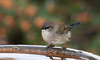 superb fairy-wren (Malurus cyaneus)-7869 (rawshorty) Tags: rawshorty birds canberra australia act symonston