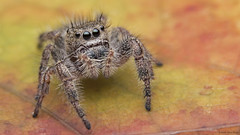 Phidippus princeps jumping spider (Tibor Nagy) Tags: phidippus princeps spider jumper jumpingspider salticid salticidae arachnid arthropod closeup flash diffused diffuser softbox macro specanimal
