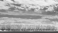 20180313_Death_Valley_002 (petamini_pix) Tags: california panorama panoramic clouds trees almondtrees dramaticsky orchard rows highway46 blackandwhite blackwhite bw monochrome grayscale