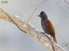 Chestnut-backed Antshrike (Thamnophilus palliatus)
