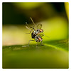 Leapfrog (Mark Wasteney) Tags: happyflydayfriday hfdf flies diptera insects closeup macro