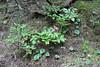 monte Linas: peonia mascula (babajuanne) Tags: peonia montelinas flower flowers fioritura fioriture peoniamascula