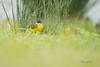 Bergeronnette d'Italie - Motacilla flava cinereocapilla (Domaine Des Oiseaux, Ariège) 08 avril 2018 (ÇhґḯṧtÖphε) Tags: 09 1400s 1600iso 500iso ariège automne bergeronnetteditaliemotacillaflavacinereocapilla bergeronnetteprintanière bergeronnetteprintanièremotacillaflava canon ddo domainedesoiseaux f50 france ladddo mazères midipyrenées motacillaflava motacillaflavacinereocapilla motacillidés occitanie passériformes westernyellowwagtail bird oiseau wwwlesamisdudomainedesoiseauxfr cinereocapilla