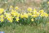 IMG_5612 (superingo78) Tags: monschau höfen narzissen blüte frühling natur schön
