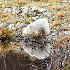 Reflections (dan487175) Tags: bearcub polarbearcub polarbear water reflection rippels mammal fur white looking lookingback cute babybear baby newborn exploring scotland zoo wildlife highlandswildlifepark orso pool rocks cub travel holiday paws little