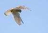 First Kestrel 😀 (dusk_rider) Tags: kestrel bird prey uk england nikon d7200 200500mm dusk rider raptor hunting hertfordshire