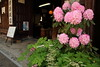 Spring in front of Sake store (Teruhide Tomori) Tags: shop store house architecture consrution mino gifu japon japan tradition flower spring 岐阜 美濃 鉢植え 伝統家屋 町並み 木造建築 日本
