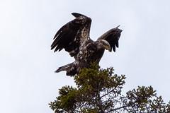 DSC_9134 Immature Bald eagle near Tettegouche State Park, Minnesota (dllarson2009) Tags: minnesota northshore lakesuperior birds haliaeetusleucocephalus baldeagle