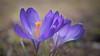 born again (koaxial) Tags: p3307670a koaxial flower crocus krokus spring frühling 2018 light licht backlight gegenlicht closeup nahaufnahme macro nature natur