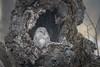 Ural Owl (BP Chua) Tags: japan hokkaido owl bird nature wild wildlife animal nest hole tree snow winter nikon