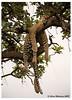 Life's Good When You are a Cat (danishpm) Tags: kenya leopard masaimara canon eos5dmkiii
