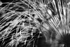 Showered (belleshaw) Tags: blackandwhite huntingtongardens nature papyrus grass bloom plant delicate abstract detail bokeh