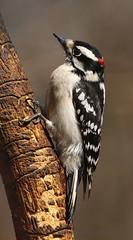 Pic mineur \ Downy Woodpecker (Alain Daigle) Tags: picmineur downywoodpecker