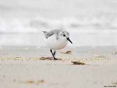 Sanderling (Corine Bliek) Tags: calidrisalba vogel vogels bird birds wildlife natuur beach strand zee sea migrant trekvogels migratory doortrekker shorebirds kustvogels strandlopers water winter sand