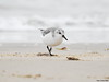 Sanderling (Corine Bliek) Tags: calidrisalba vogel vogels bird birds wildlife natuur beach strand zee sea migrant trekvogels migratory doortrekker shorebirds kustvogels strandlopers water winter sand