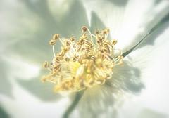 Sweet nothings (Sarah Fraser63) Tags: sliderssunday flower petals stamen macro closeup