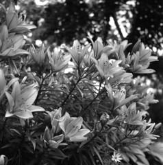 lilies (Paul Lundberg) Tags: lilies zeissikoflex carlzeisstessar35 fujineopanacros100 kodakhc110 epsonv550 film 6x6