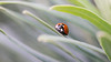 Coccinelle 7 points 002 (Hturina) Tags: tamronmacro90 coccinelle insectes parc