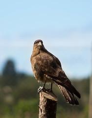 Tiuque / Milvago Chimango (rsoledadvf) Tags: bird southamerica chile