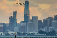 Priceless Perch (JohnKuriyan) Tags: berkeley california unitedstates us gull salesforce tower san francisco