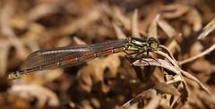 Large red damselfly ~ Pyrrhosoma nymphula {explored} (Cosper Wosper) Tags: pyrrhosomanymphula largereddamselfly westhay explored