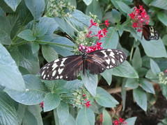 P4190176 (Steve Guess) Tags: horniman museum butterfly forest hill london england gb uk
