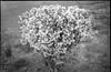 old forsythia bush, trimmed back, blooming, cracked pavement, Asheville, NC, Kodak Retina IIIc, Arista.Edu 200, Ilford Ilfosol 3, 3.8.18 (steve aimone) Tags: bush shrub forsythia trimmed blooming pavement cracked crackedpavement asheville northcarolina kodak kodakretinaiiic retina aristaedu200 ilfordilfosol3developer 35mm film rangefinder blackandwhite monochrome monochromatic
