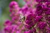 Butterfly (PeterWdeK) Tags: france frankrijk 2015 vlinder butterfly pink roze garden tuin spring lente kasteel castle aquitanië