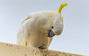 Sulphur-crested Cockatoo (Merrillie) Tags: australia nsw woywoy sulphurcrestedcockatoo wildlife tree nature cockatoo bird birds animal animals fauna parrot newsouthwales jacaranda