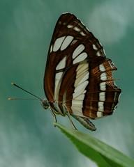 Butterfly in Ho Chi Minh City (billcoo) Tags: xf80mm xf14x fujifilm bokeh zoo macro saigon