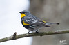 Half And Half (Yellow Rump Warbler) (The Owl Man) Tags: